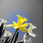 Daffodils in the Sky (Black and White with Color Focus) by CrystalFanning