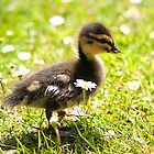 Duckling 2 by Ashley Beolens