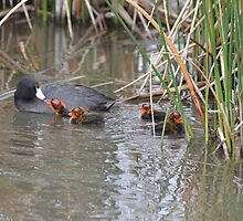 Coots Family  by Judy Grant