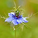 Nigella Damascene (Love In The Mist  by lynn carter