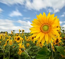 Sunflower by Patricia Jacobs CPAGB LRPS BPE2