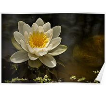 """POND LILLY- """" Queen Of Whites"""" Poster"""