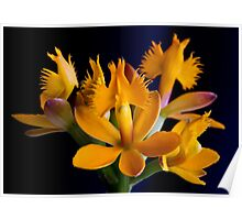 Yellow Crucifix Orchid Poster