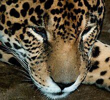 Resting Jaguar (Panthera onca) by Maria A. Barnowl