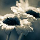 Daisies by lorrainem