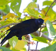 australia birds - the satin bower bird by houenying
