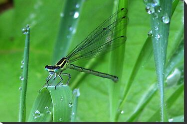 Damselfly and Waterdrups by ienemien