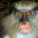 Mona Monkey in Grenada by globeboater