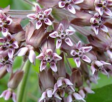 Common Milkweed  - Asclepias syriaca L. (Asclepiadaceae) by Tracy Faught