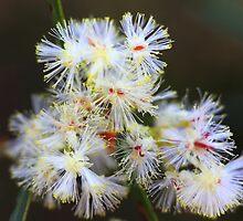 Acacia suaveolens  by andrachne