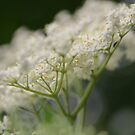 Elderflower Macro by Astrid Ewing Photography
