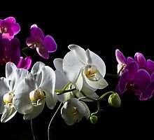 Purple and white orchid on black by torishaa