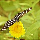 Zebra Butterfly on Daisy by photecstasy