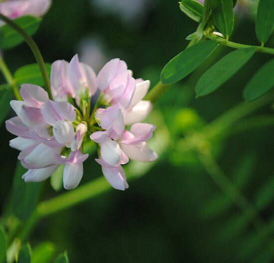 Crown Vetch by goddarb
