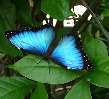 Blue Morpho #1. by chris kusik