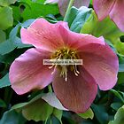 Lovely Lenten Rose by Michiale