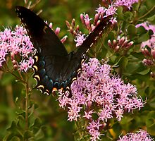 Orchard Swallowtail. by chris kusik