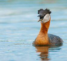 Red-necked Grebe by (Tallow) Dave  Van de Laar