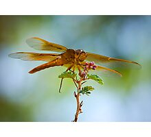 Red Skimmer Dragonfly  Photographic Print