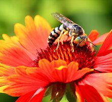 Bee On Firewheel by Arla M. Ruggles