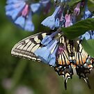 Butterfly on Virginia Bluebell by Bine