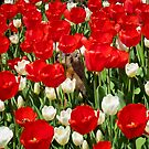 Groundhog Day! Vibrant Red &amp; White Tulip Flower Bed on Parliament Hill, Canada by Chantal PhotoPix