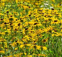 A Field of Susans by lorilee
