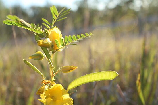 Partridge-Pea by Jean Martin