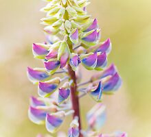 Summer Pastels by Lynnette Peizer