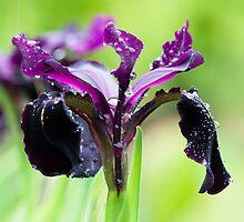 Irises in the Rain by RedMann