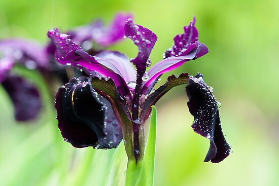 Irises in the Rain by RedMann