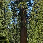 The Largest Tree in the World - GigaPan by Stephen Beattie