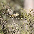 Fuscous Honeyeater by Kerryn Ryan, Mosaic Avenues