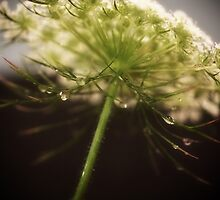 Queen Ann's Lace against dark background by KSKphotography