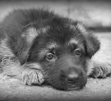 German Shepherd Puppy by Lou Wilson