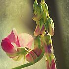 Sweet Pea Pods by reindeer