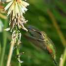 Female Rufous Hummingbird and Red Hot Poker  by Diana Graves Photography