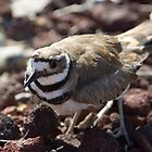 Female Killdeer by Robbie Knight