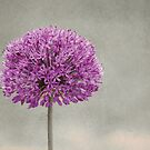 Allium by Anne Staub