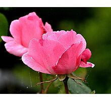 Spider Roses Photographic Print