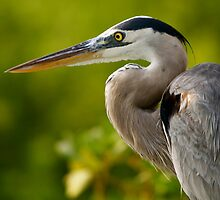Great Blue Galapagos Heron - Hunting by James Girdler