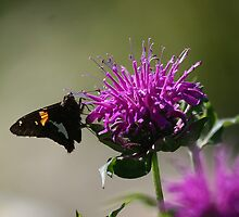 Silver-Spotted Skipper on Bee Balm by Paula Tohline  Calhoun