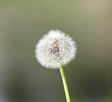 one big fluffy dandelion by mrivserg