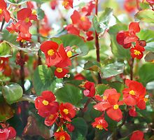 bright red flowers of begonia  by mrivserg