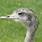 A very proud ostrich by davidwatterson