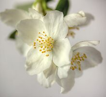 Mock Orange by Janet Clark