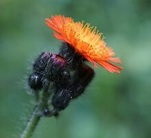 Black & Orange Hawkweed by youmeus