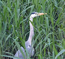 Grey Heron - Spittle Brook by Chris Monks