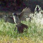 Blue jay in flight by thedinosaurman