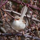 Female superb fairy wren by tarnyacox